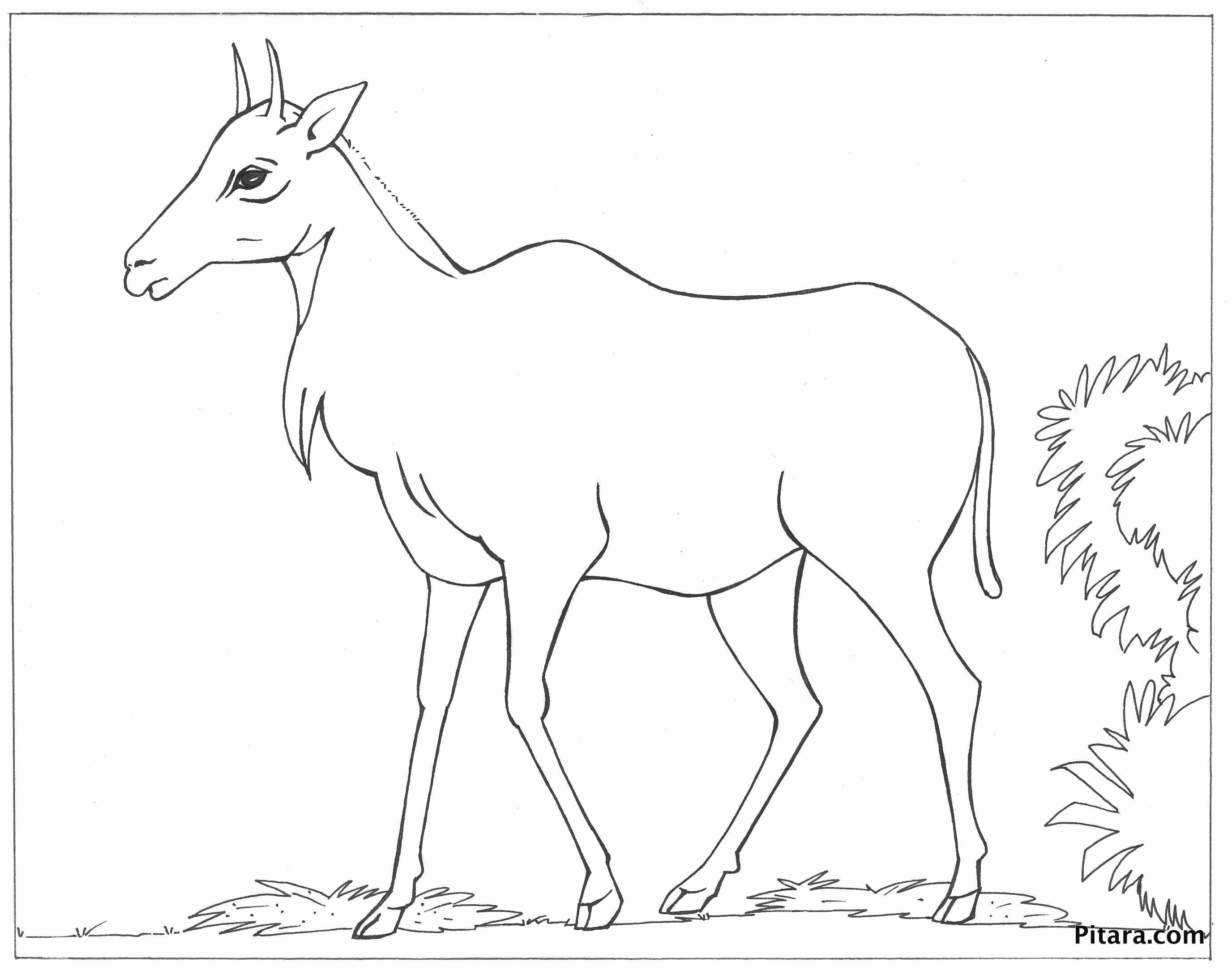 Nilgai – Asian antelope