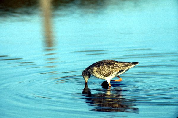 Redshank wading for food