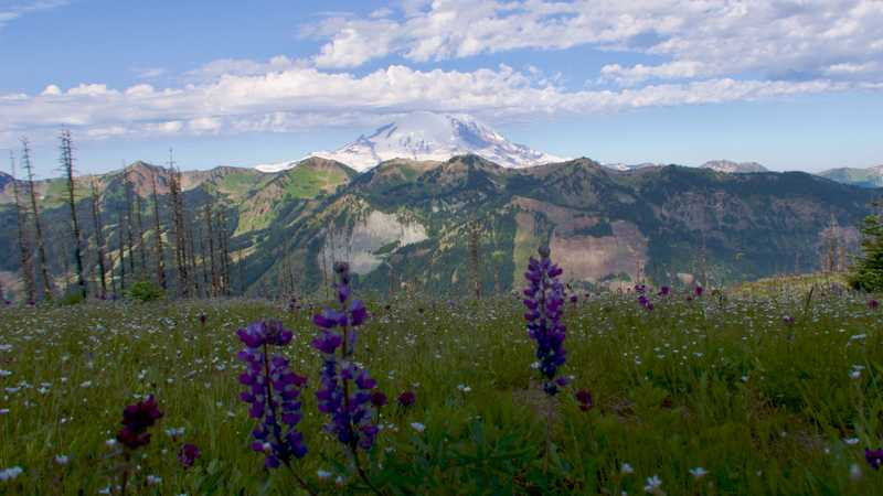 Lupines and a view of Mt. Rainier