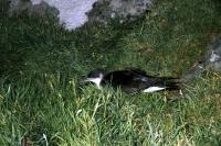 Manx Shearwater caught by camera flash