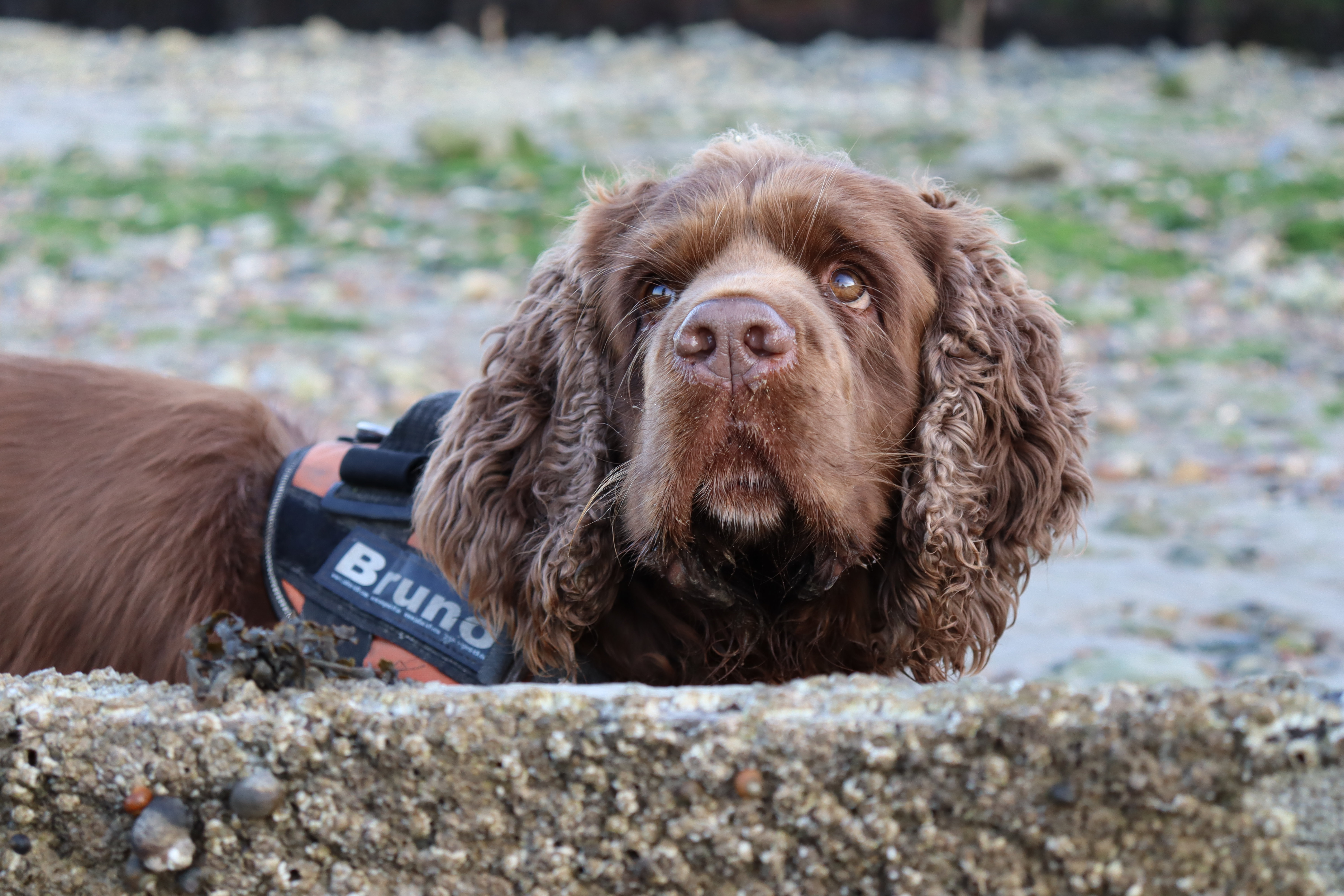 Bruno the Sussex spaniel looking upwards to the top left of the camera, stood behind a shell covered groyne. He's stood side on so the label on his harness with his name on is visible in the photo.