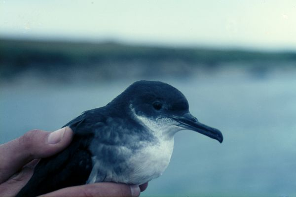 A Manx Shearwater in close-up