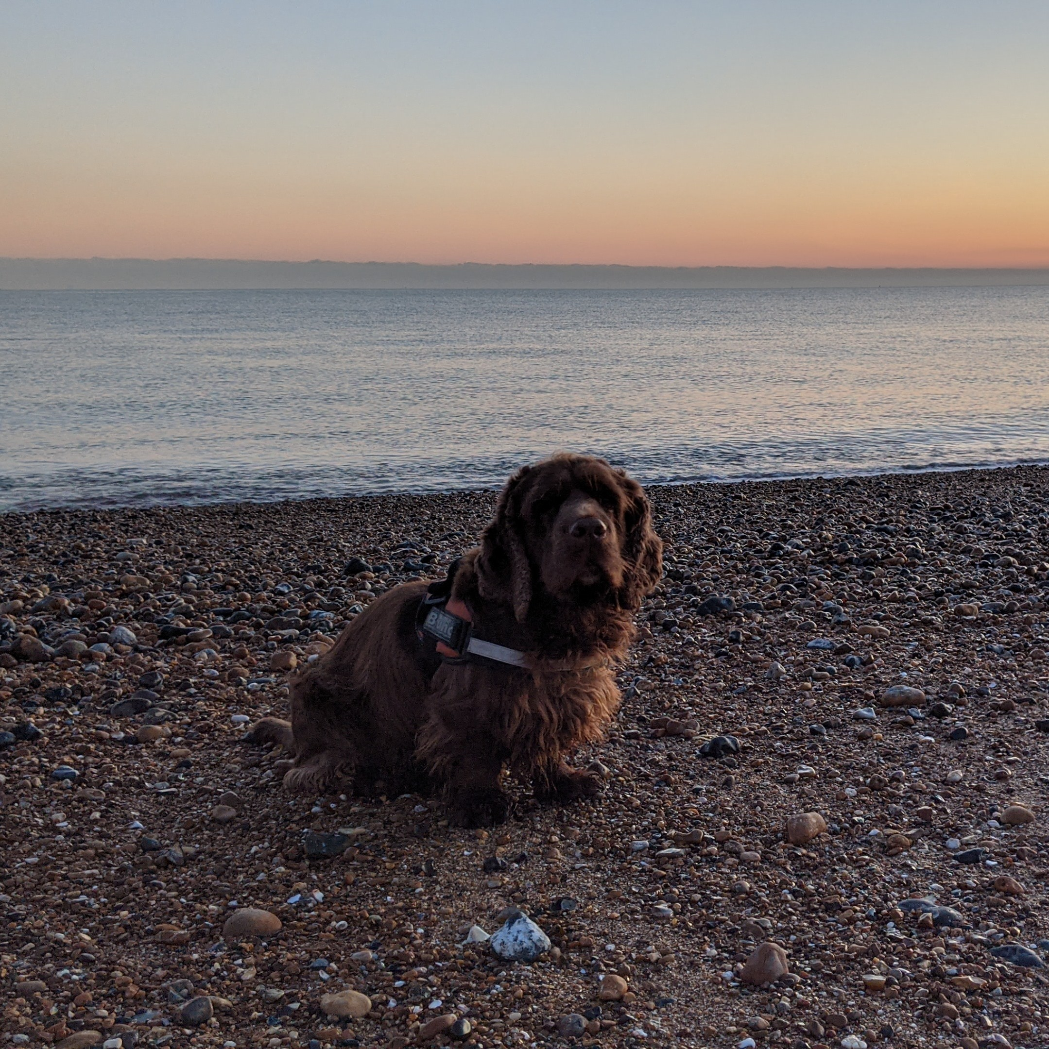 Sussex spaniel dog on the shingle with the sea and an orange sky in the background.