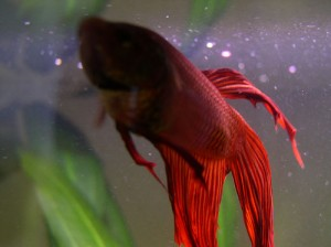 Caring For Your Betta Fish