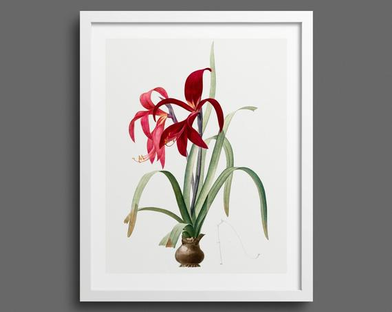 Red Amaryllis with bulb by Pierre-Joseph Redouté