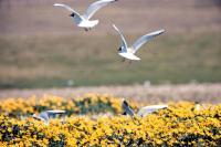 Black Headed Gulls take flight