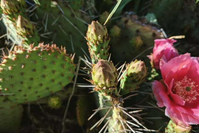 A prickly pear cactus flower on the verge of blooming.