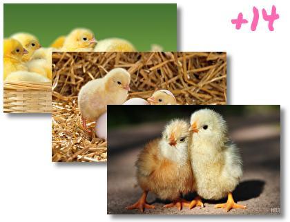 Chicken theme pack