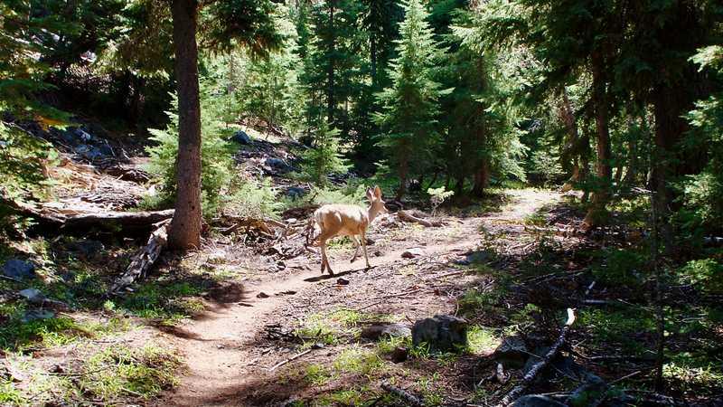 A mule deer walks along the Pacific Crest Trail