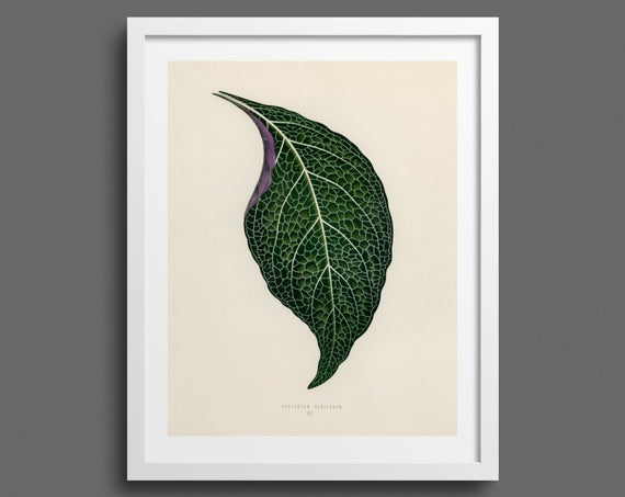 Mosaic Plant (Adelaster Albivenis)
