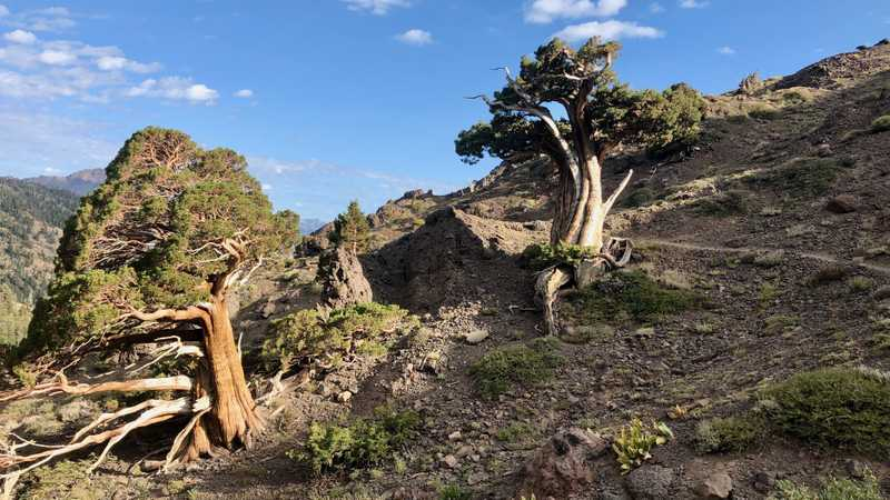 Sierra juniper trees