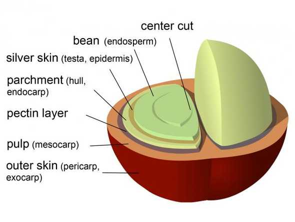 parts of coffee bean