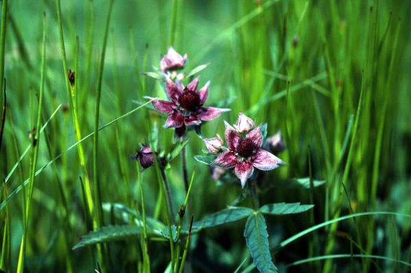 Marsh Cinquefoil flowers in close-up