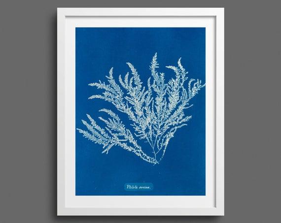 Algae Cyanotype (Pilota Sericea) by Anna Atkins
