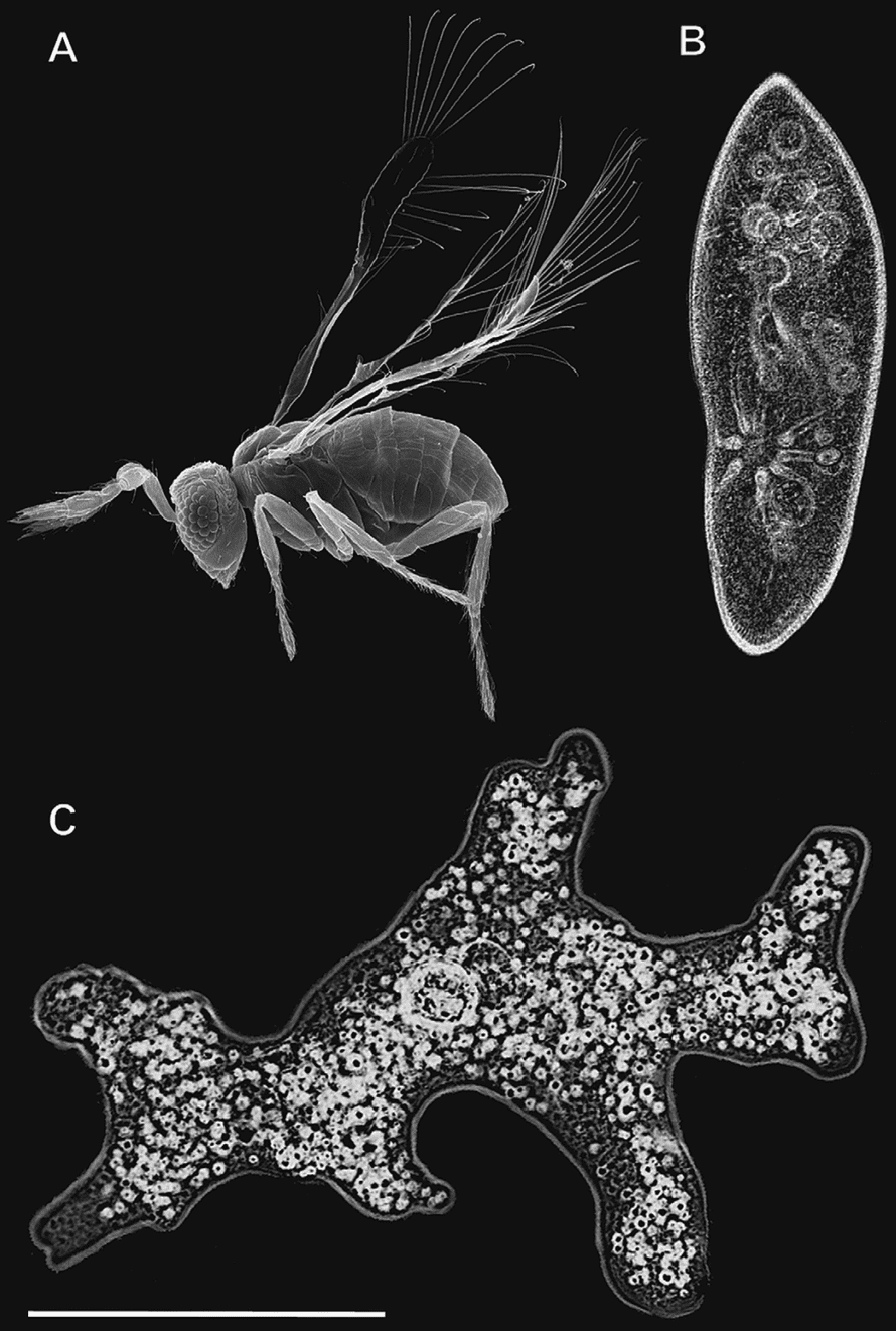 The wasp compared to an amoeba and a paramecium