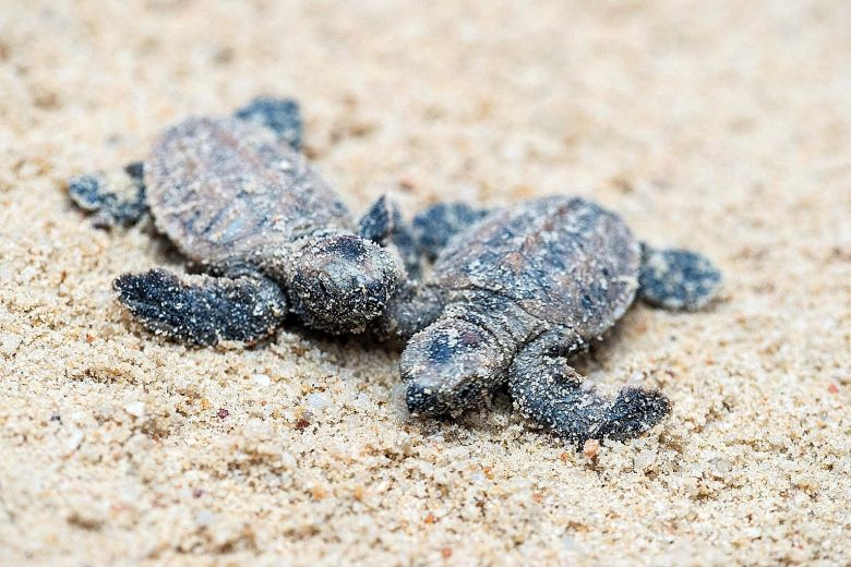 Image of 2 baby Hawksbill Turtles