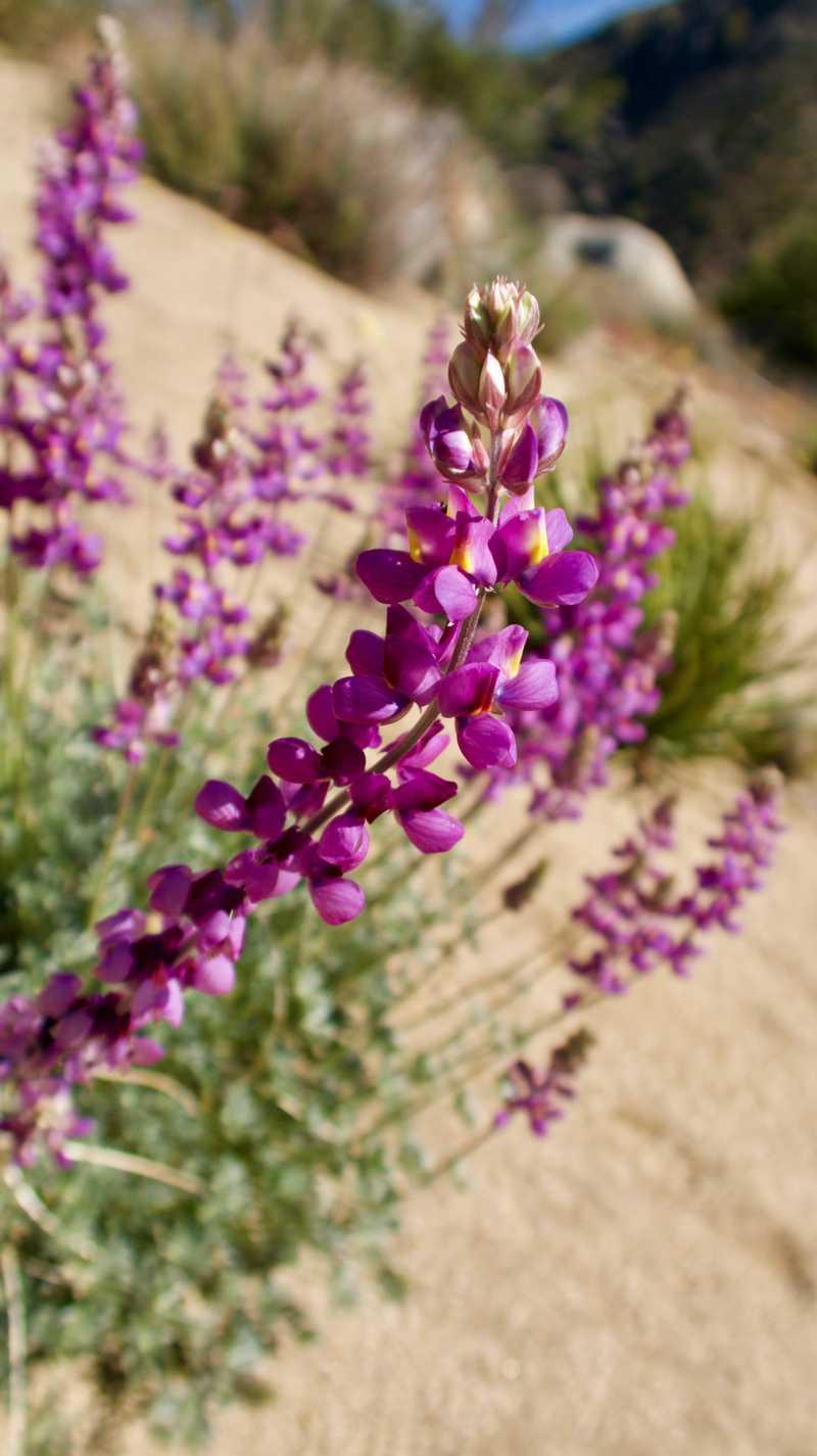 Desert lupine