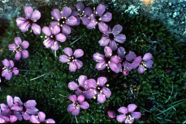 Pink Moss Campion flowers