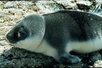 Hooded Seal pup.