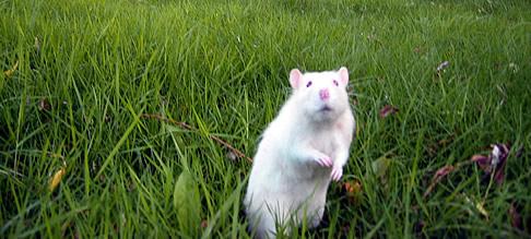 Reggie The Rat