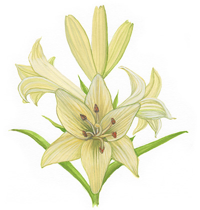 Willa Cather Exhibit watercolor madonna lily