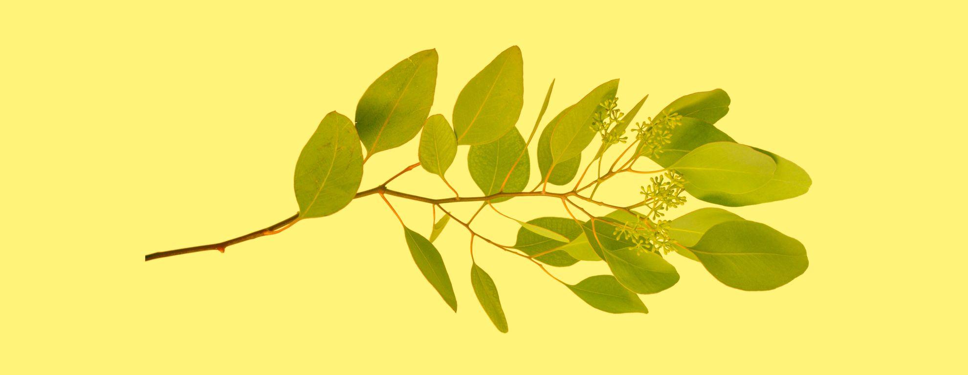 Hoja sen: propiedades y beneficios para la salud - Featured image