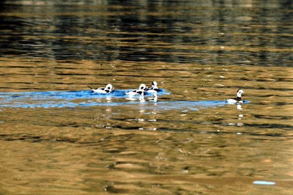 Four Long-tailed Ducks glide across a calm sea