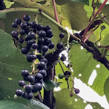 Mountain grapes