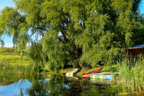 Big willow tree next to the dam edge.
