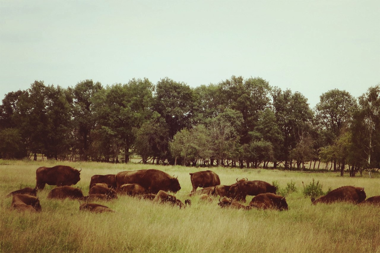 A herd of bison in the Mogilev Zoo Garden. Summer 2016 Photo by A.Basak