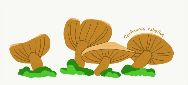 Cortinarius rubellus - Deadly webcap mushrooms