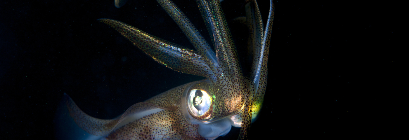 Hawaiian bobtail squid, one of the many ocean-dwelling creatures that have beaks made of chitin, a hard substance from which UC Santa Cruz engineers are developing more efficient biosensors and novel materials.