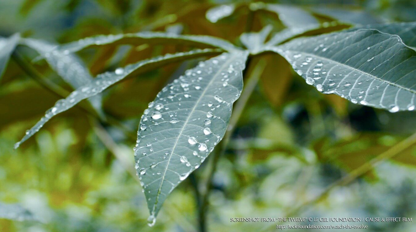 "Screenshot from the film ""The Twelve"" showing green leaves with water droplets in nature."