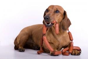 dog eating sausage