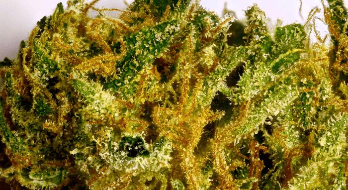 Fatigue-fighting marijuana strain: Durban Poison