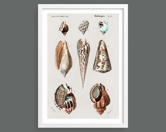 Shells vintage chart print