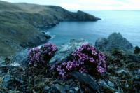 Purple Saxifrage, flowers in April
