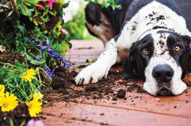 Black and White dog crouched beside a flower garden