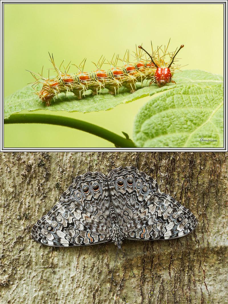 A imagem de cima, mostra uma lagarta de estaladeira e a imagem de baixo, mostra a Borboleta-estaladeira pousada de cabeça para baixo em um tronco