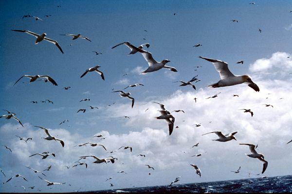 A flock of Gannets in flight