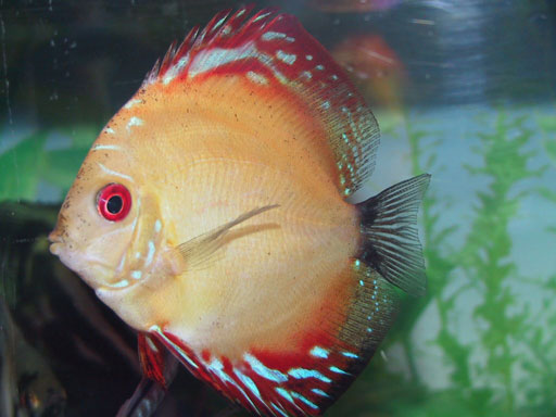 Discus Fish Breeding – Simple Ways to Breed Your Fish