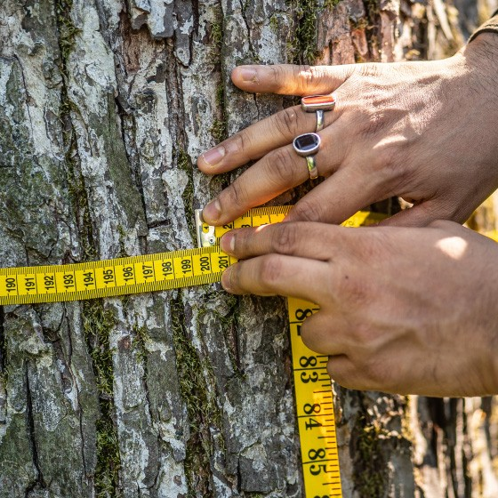 Hands holding a measuring tape around a tree stump