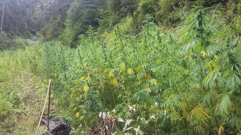 Wild Hemp Growing In Fields