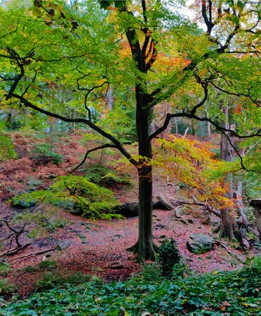 Looking down the bank towards Meanwood Beck in Adel woods. Golden leaves on the ground during Autumn.