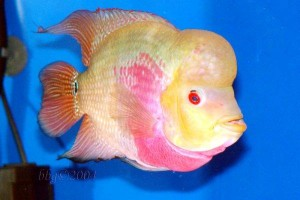 Selecting A Beautiful Flower Horn Fish