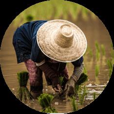 A farmer planting rice