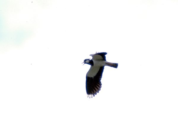 Lapwing on the wing