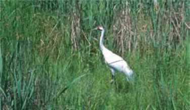 Saskatchewan whooping crane
