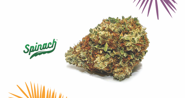 Spinach – Sensi Star Strain