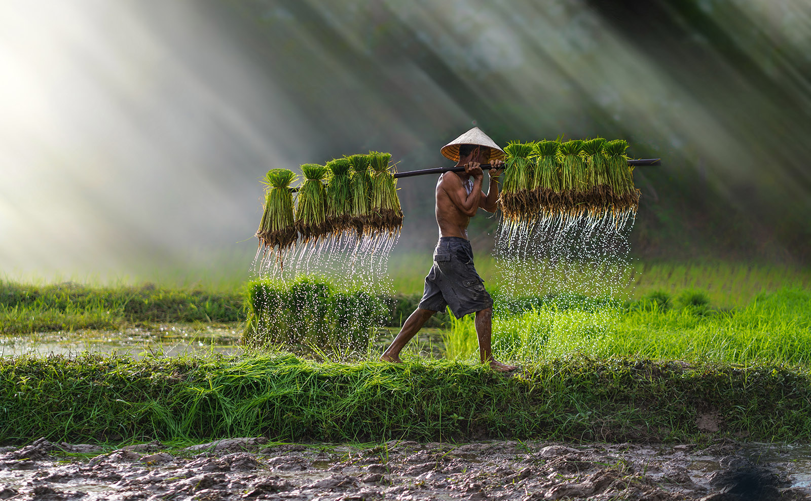 farmer carrying rice seedlings in a paddy field